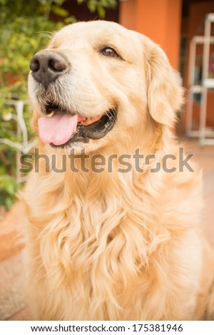 Dog golden retriever - stock photo