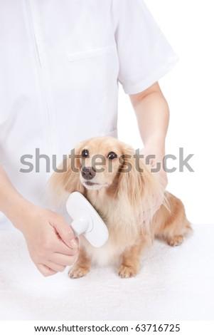 Dog groomer brushing dachshund - stock photo