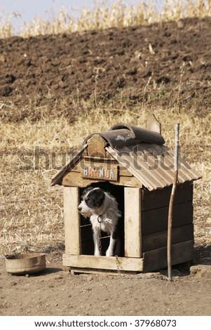 Dog guarding a cornfield - stock photo