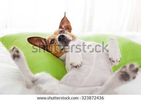 dog having a relaxing siesta, resting  or daydreaming in living room or bedroom , on a pillow - stock photo
