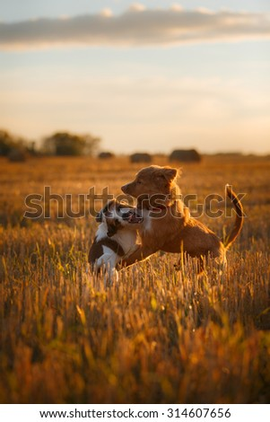dog hay on the field, playful and active Terrier