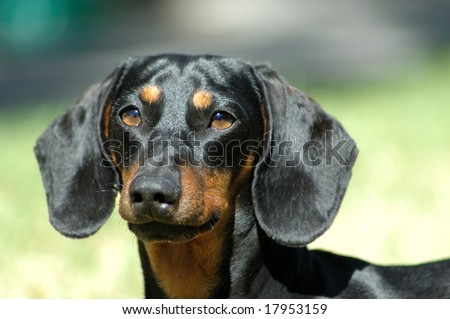 Dog head portrait of miniature black and tan smooth haired Dachshund - stock photo
