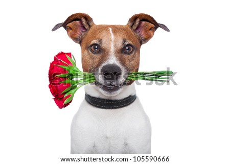 dog holding a bunch of  red roses