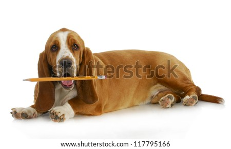 dog holding pencil - basset hound with sharp pencil in mouth laying on white background - stock photo