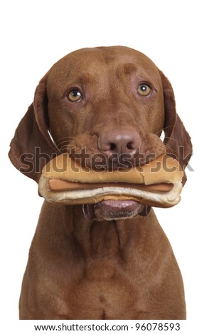 dog holding real hot dog in mouth on white background - stock photo