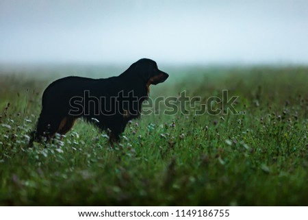 dog hovawart nice silhouette on meadow with mist in the background early in the morning