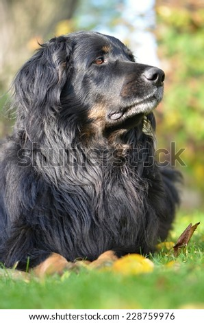 dog howavart - stock photo