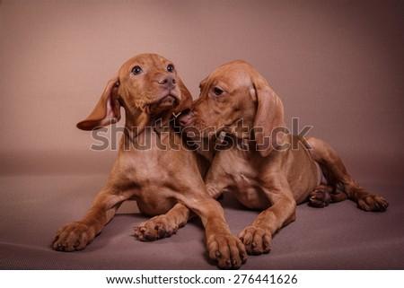 Dog Hungarian Vizsla pointer, puppy, Brown dog - stock photo
