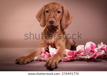 Dog Hungarian Vizsla pointer, puppy, Brown dog - stock photo