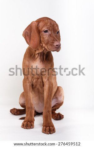 Dog Hungarian Vizsla pointer, puppy, Brown dog