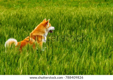 Dog in a field with tall grass. Akita Inu japan