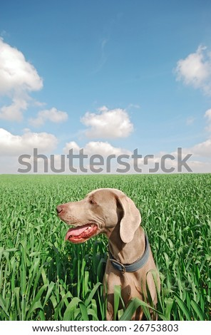 dog in a green wheat field - stock photo