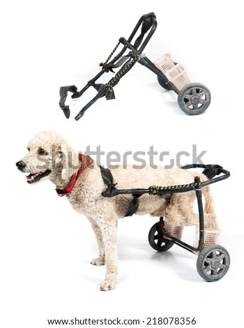 dog in a wheelchair in front of a white background - stock photo