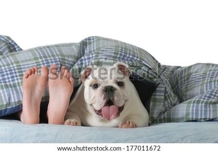dog in bed - child's feed laying under the covers with happy english bulldog beside her isolated on white background - stock photo
