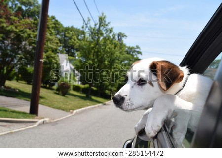 Dog in car with head out of window