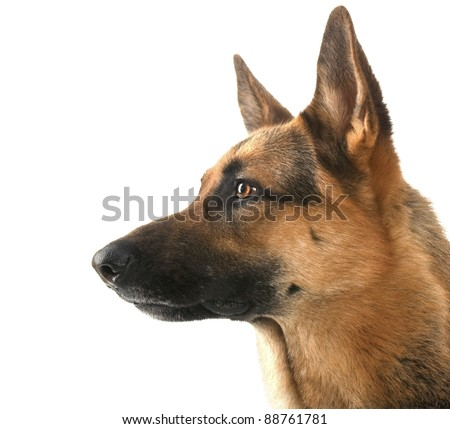 dog  in front isolated on white background. studio shot. - stock photo
