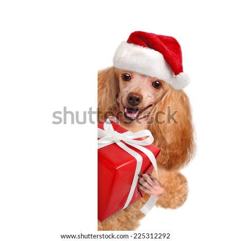 Dog in red Christmas hats with gift