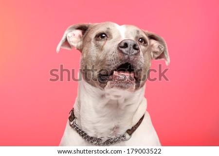 Dog in studio - stock photo
