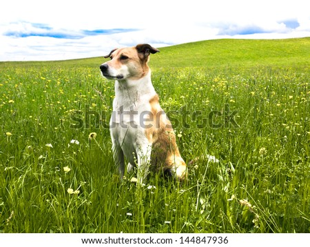 Dog in the dandelion meadow, portrait, side / front view, 145 - stock photo