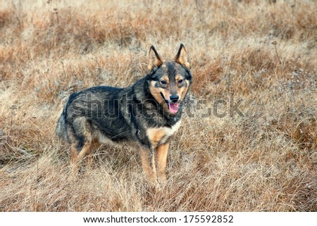 Dog in the field - stock photo