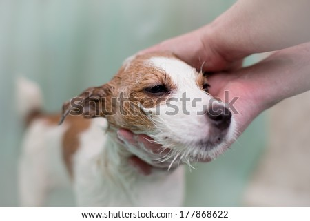 dog in the shower, Jack Russell