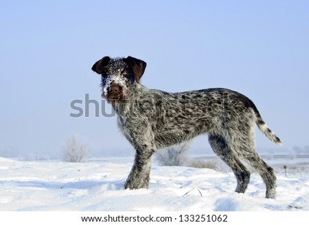 Dog in the snow - German Wirehaired Pointer - stock photo