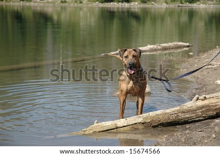 Dog in water - stock photo