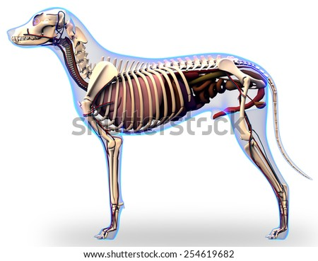 Dog anatomy stock images royalty free images vectors shutterstock dog internal organs anatomy ccuart Choice Image