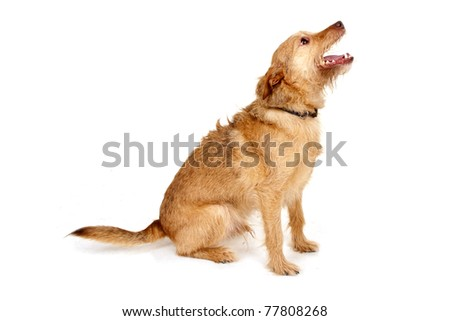 Dog is begging for food - stock photo