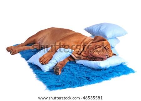 Dog is sleeping sweetly on its blue carpet - stock photo