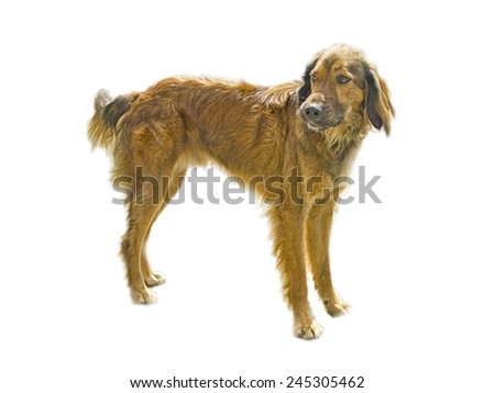 Dog isolated in white background - stock photo