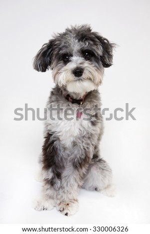 Dog isolated on white background looking at the camera  - stock photo