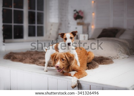 Dog Jack Russell Terrier and Dog Nova Scotia Duck Tolling Retriever on a studio background - stock photo