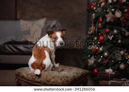Dog Jack Russell Terrier. holiday, Christmas and New Year - stock photo