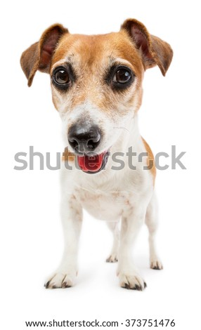 Dog Jack Russell terrier in a full-length peeks curiously at the camera. Shooting from the bottom point. White background - stock photo