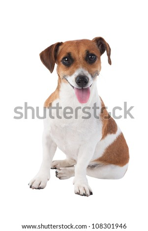 Dog Jack Russell terrier is attentively looking at the camera isolated on white background - stock photo
