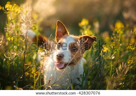 Dog Jack Russell Terrier walking in a field in summer