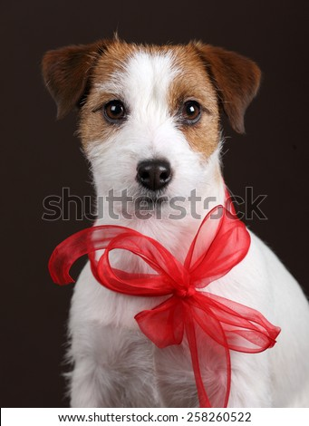Dog Jack Russell Terrier with a red bow, portrait