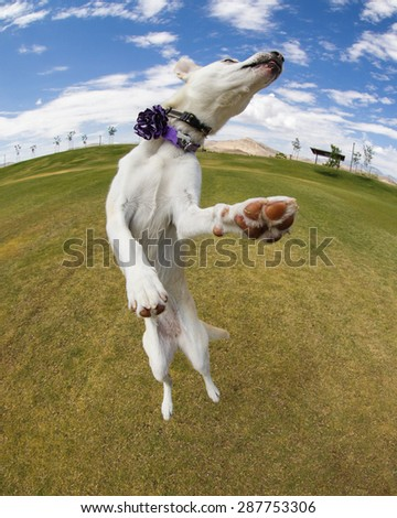 Dog jumping at the park on a sunny day captured with a fish eye lens - stock photo