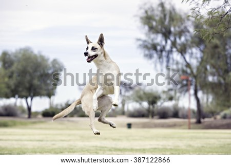 Dog jumping in the air - stock photo