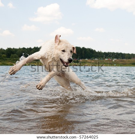 Dog jumping in the water. Labrador is playing - stock photo