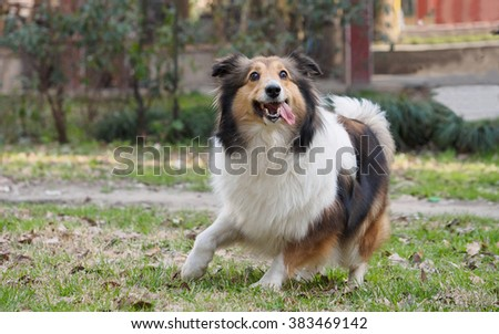 Dog jumping moments before. - stock photo