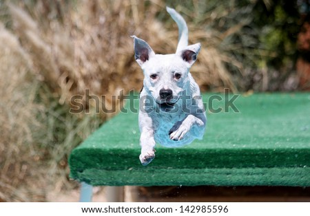 Dog jumping off the dock into the swimming pool - stock photo