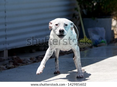 Dog just finished shaking off the water after getting out of the pool - stock photo