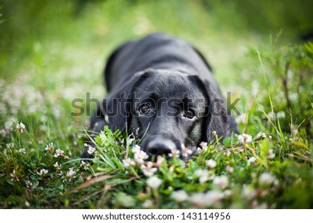 dog labrador nature of water - stock photo