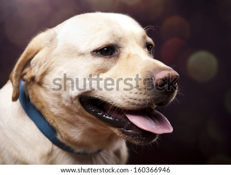 Dog, Labrador Retriever  - stock photo