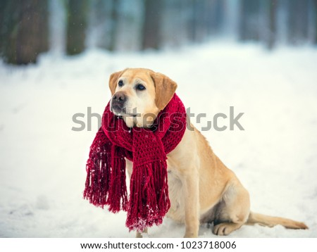 Dog labrador retriever wearing knitted red scarf sitting outdoors in winter snow forest