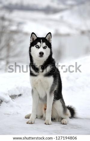 dog Laika - stock photo