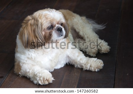 Dog lay down on the wood floor. - stock photo