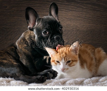 Dog licking cat. Cute, cute animals. Snouts large. Language pink. Dog Bulldog, thoroughbred, black. Cat small, white with red  - stock photo